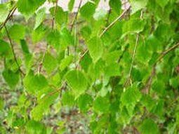 Берёзовые листья для суставов разрушение суставов ног