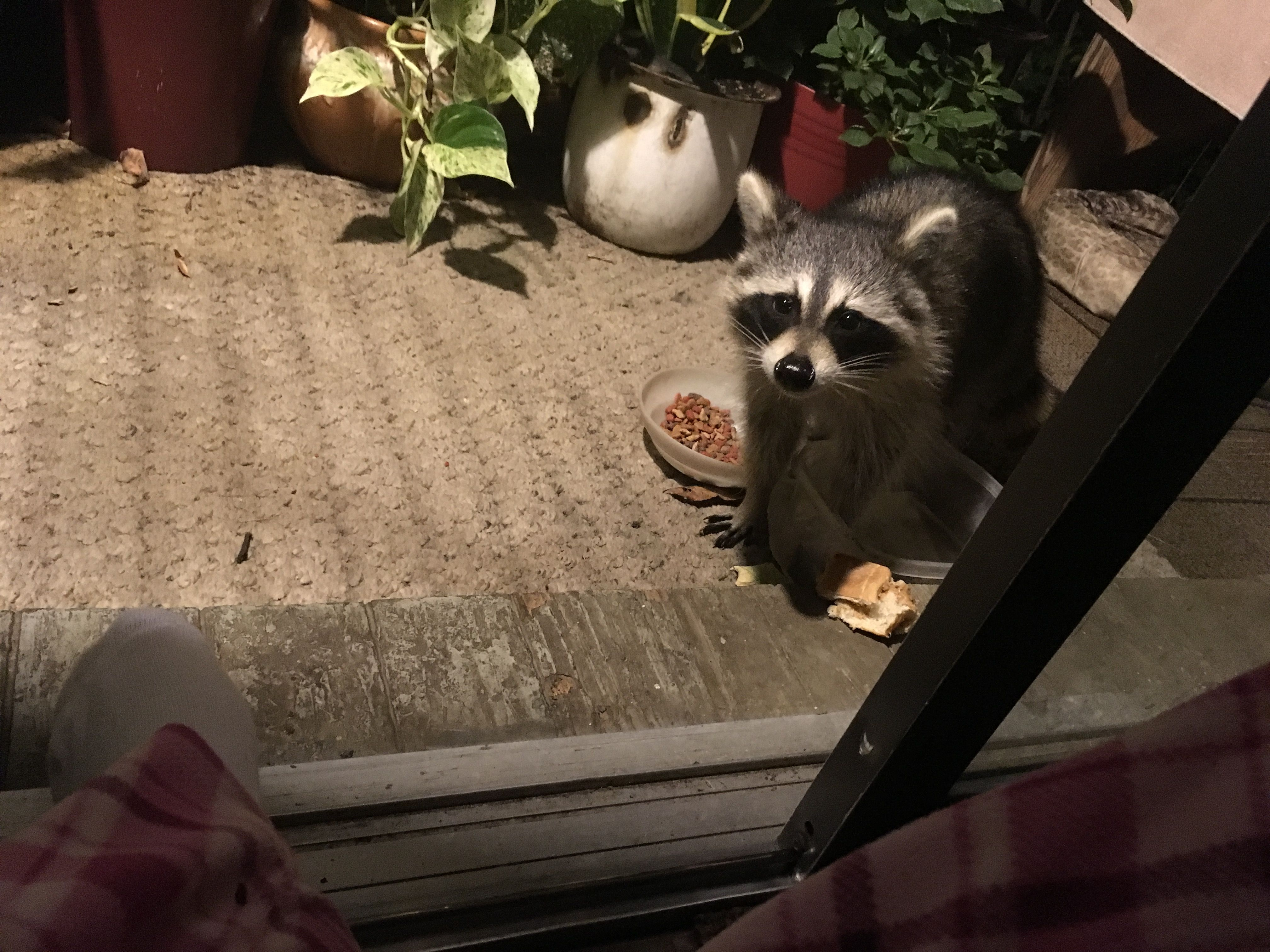 Pin by Shannon on Raccoons In My Neighborhood | Pinterest | Raccoons