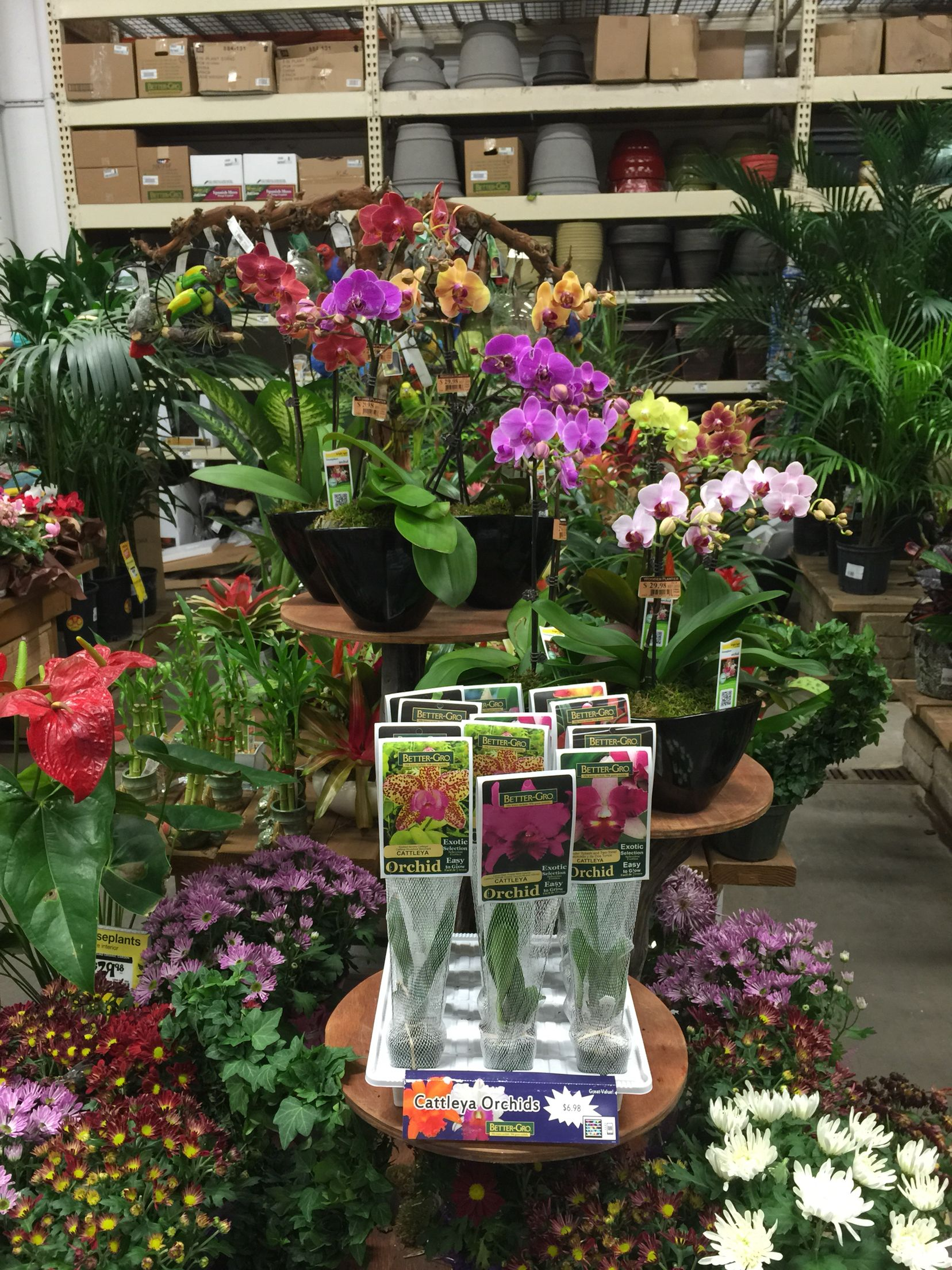 Home depot mira loma poinsettia plant hibiscus plant