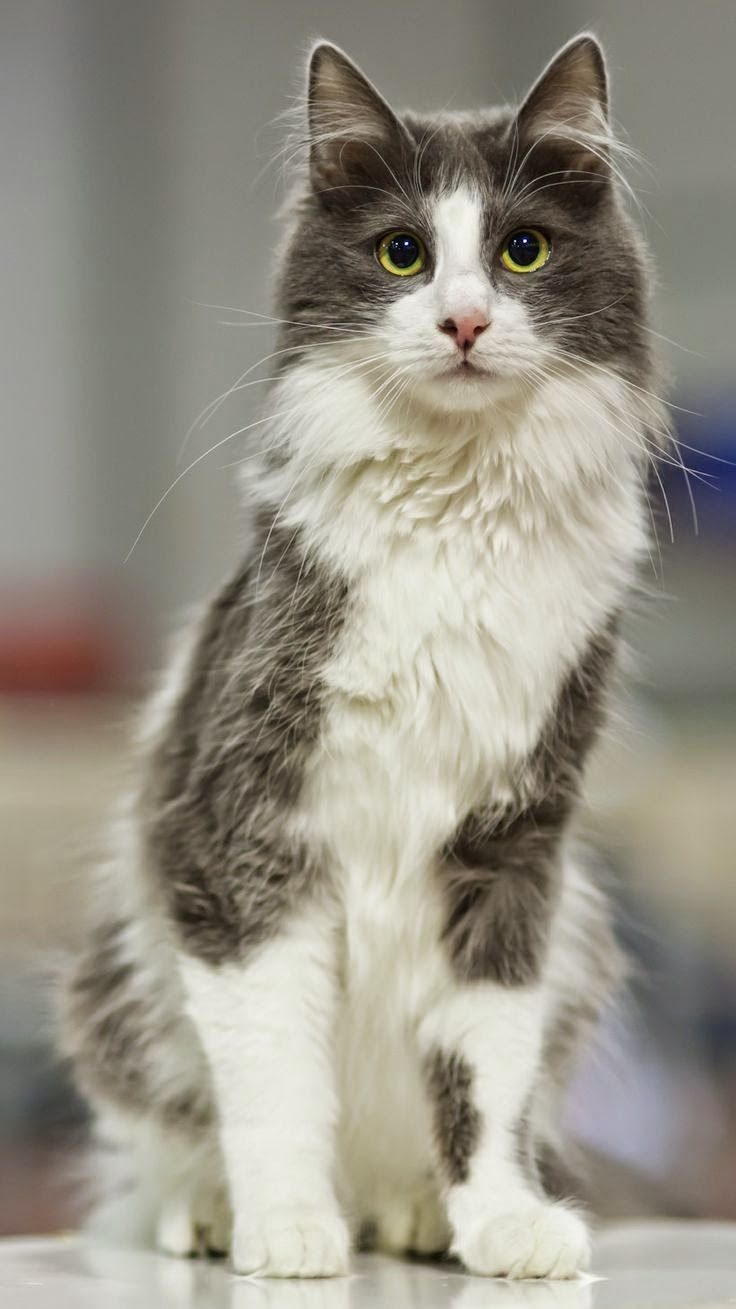 Top 5 Most Beautiful Cat Breeds Angora Cats Cute Cats And Dogs Cute Cats