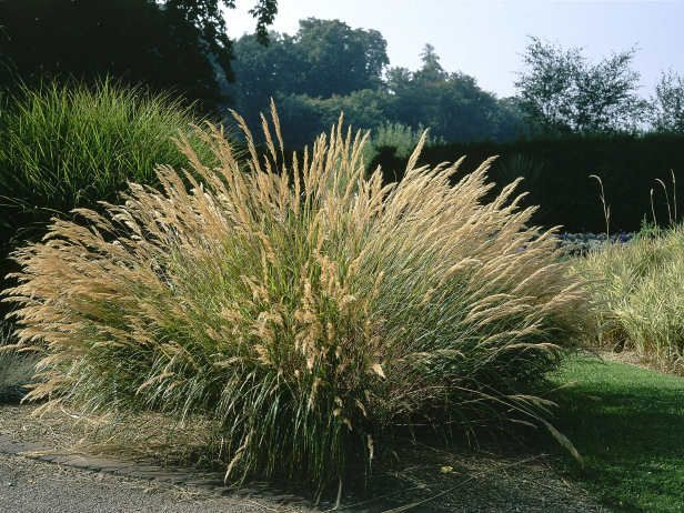 Tall, Colorful and Handsome: Bamboos and Ornamental Grasses. Bring structure, form, color, height, even sound and movement to your gardens landscaping with these plants.  Maiden Grass---  Maiden grass is noted for its narrow green leaves with a silver midrib which turn a lovely bronze color in the fall. Tiny reddish-copper flowers appear in tassel-like stalks above the foliage early fall, gradually fading to silvery plumes
