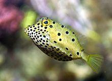 Yellow Boxfish Fish Saltwater Aquarium Fish Dangerous Fish
