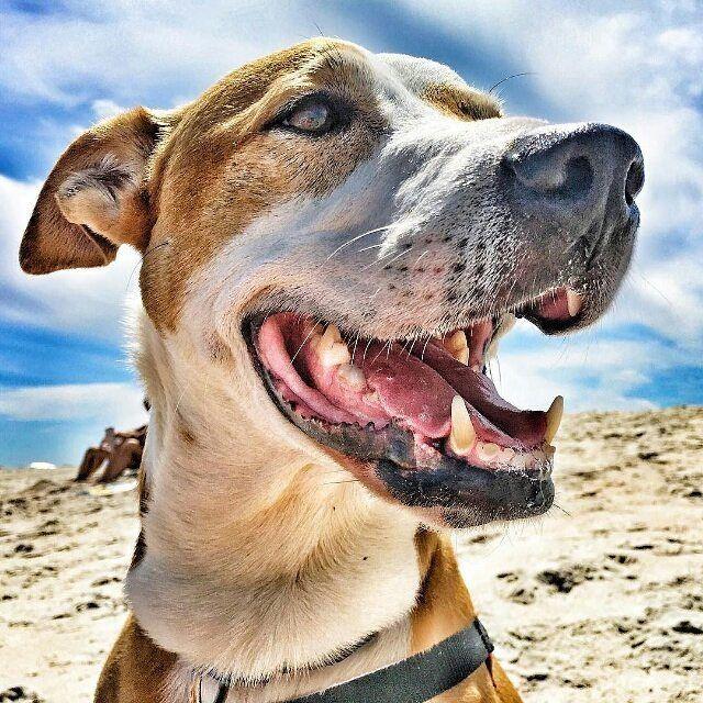 #beachday @phokissedpets  Drool bubbles! #dogpics #dogsofinstagram #instadog #dogstagram #dog #petpics #dogslife  #bully #bulldog #adoptdontshop #instagramdogs #dogoftheday #ilovedogs #petstagram #doglife #doglove #doglover #mansbestfriend #dogs #doglovers #badassbullies #cute #dogphotography #ilovepuppies #dogsofinsta  #staugustine #SaintAugustine