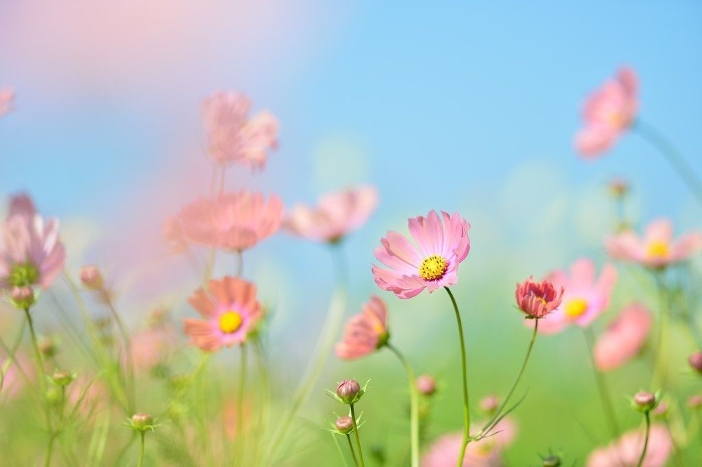 Pink Cosmos Flowers Meadow 4k Wallpaper Wallpaper Nature Flowers Planting Flowers Beautiful Photos Of Nature