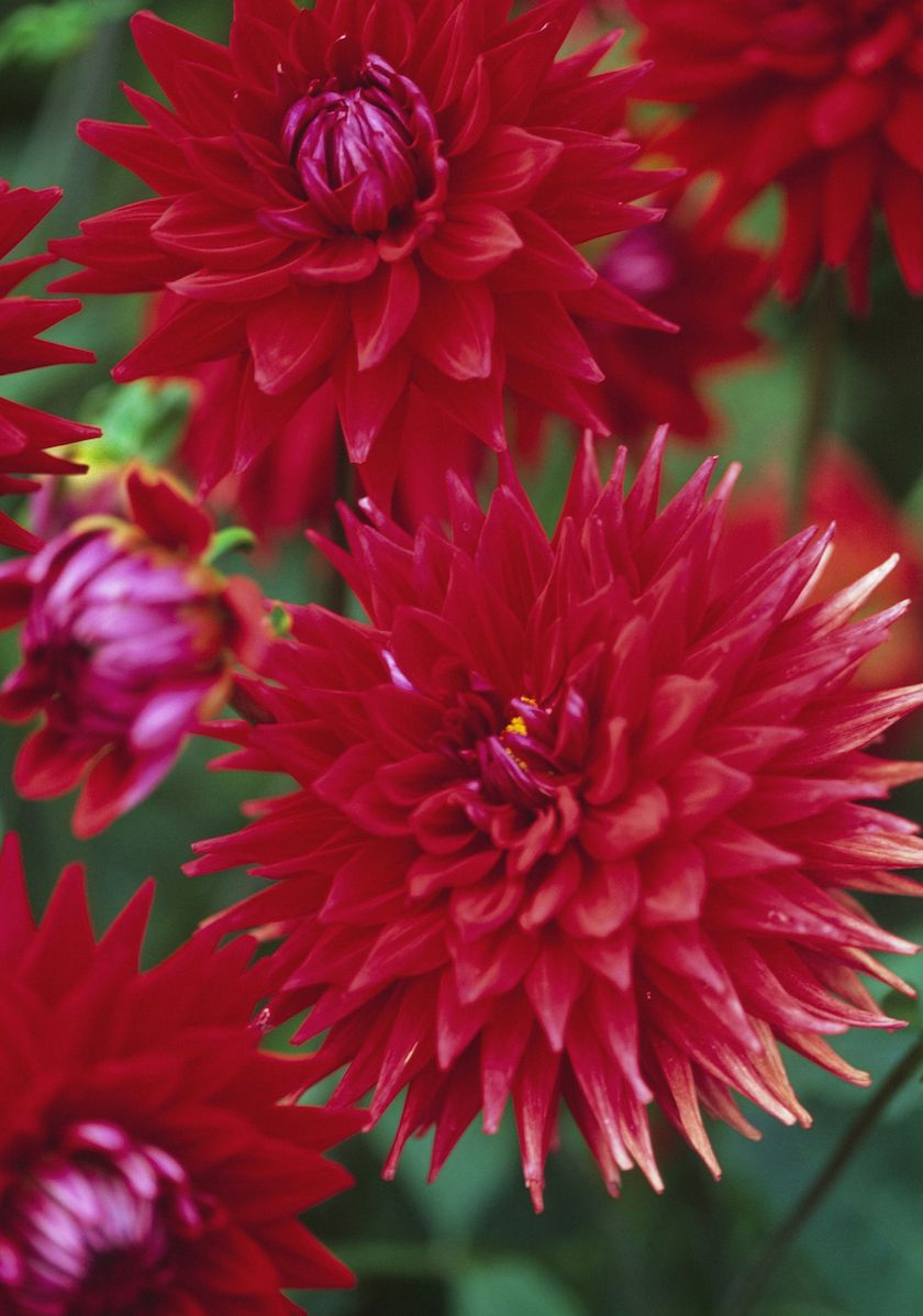 Add Some Dahlias To The Mex Types Of Flowers Dahlias Garden Flower Arrangements