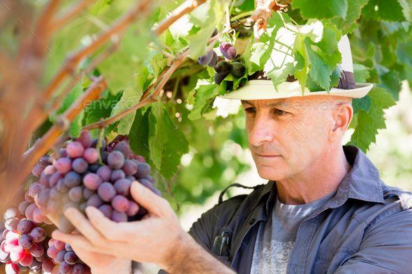 Man standing in vineyard by nexusplexus. Man wearing hat haversting grape in vineyard #AD #vineyard, #nexusplexus, #Man, #standing