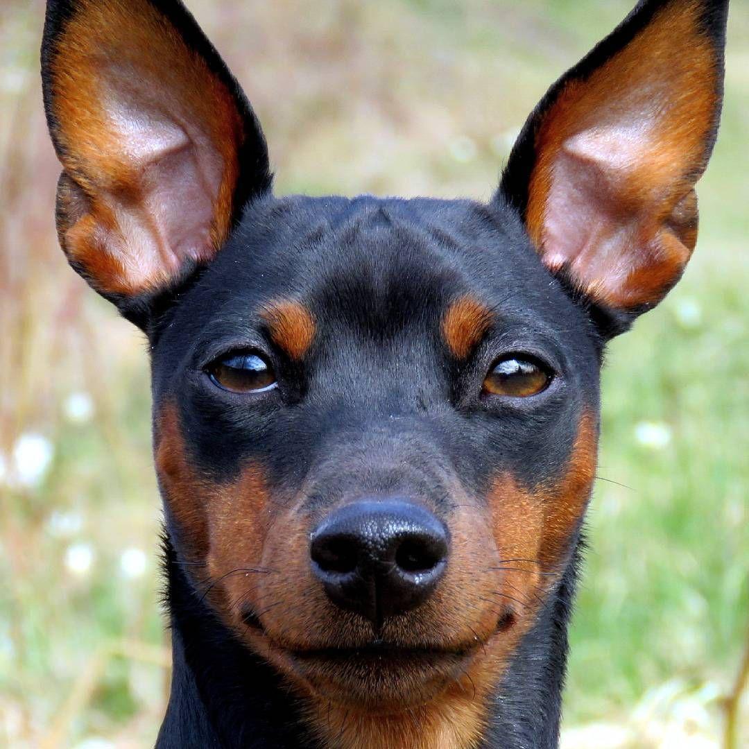 Порода собак мини доберман фото