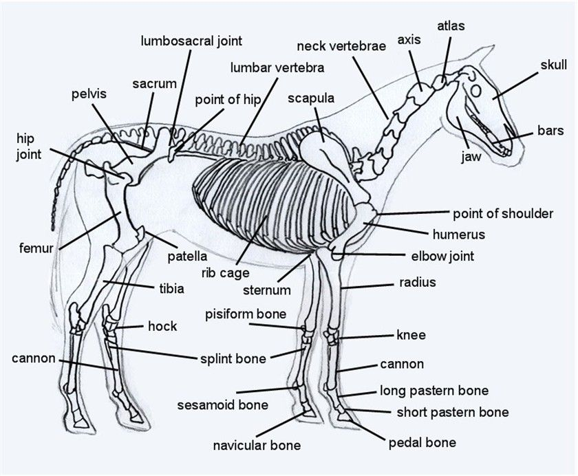 Horse skeleton...the perfect weight bearing running machine ...