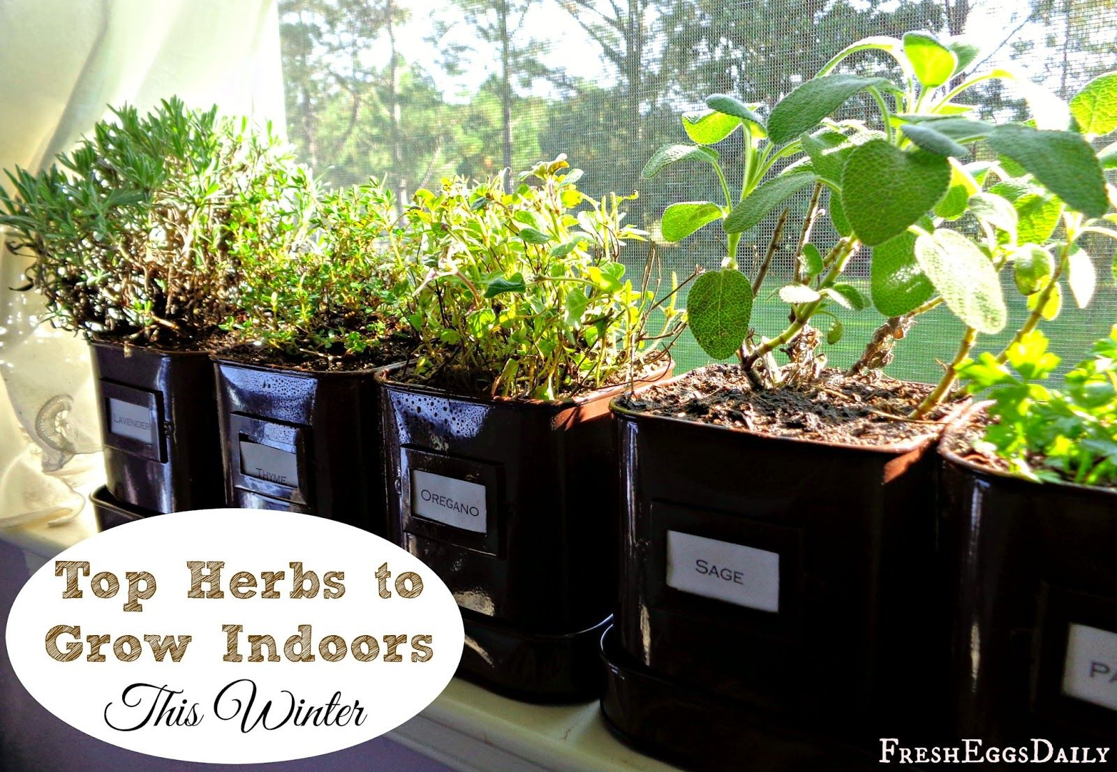 Fresh eggs daily grow herbs indoors this winter my top