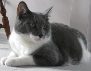 Tom Is An Adoptable Domestic Short Hair Gray And White Cat In Fenton Mo Tom Is A Super Friendly Social Grey And Wh Grey And White Cat Pets Kitten Adoption