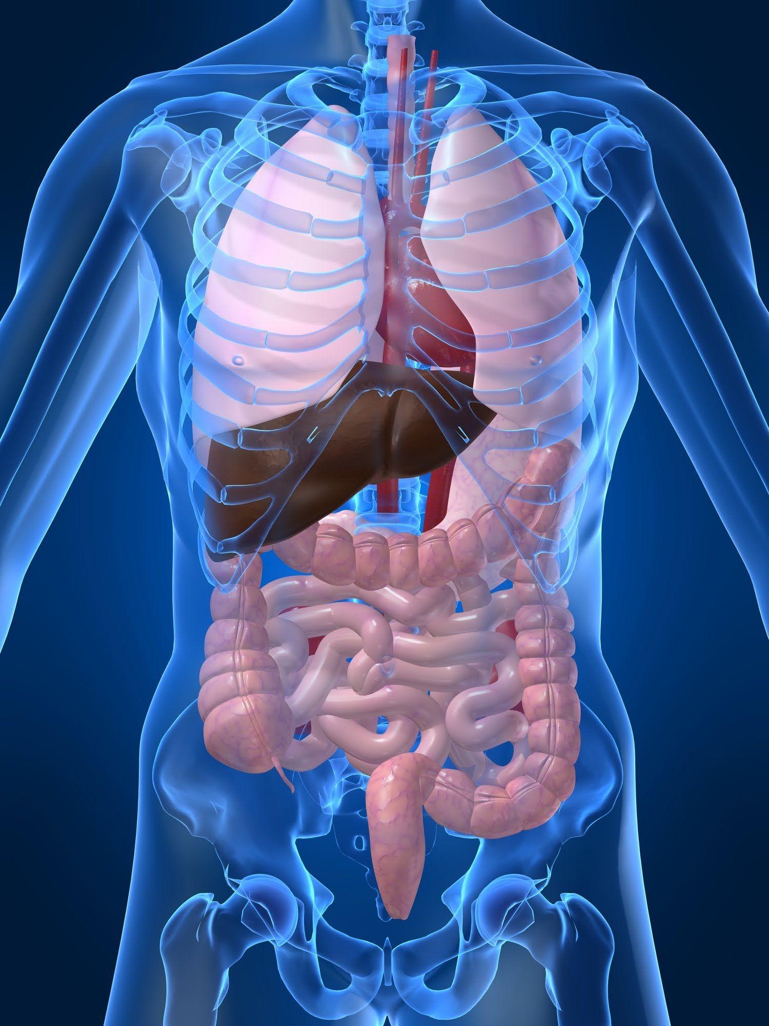 Organs of the human body Los organos del cuerpo humano.The human ...