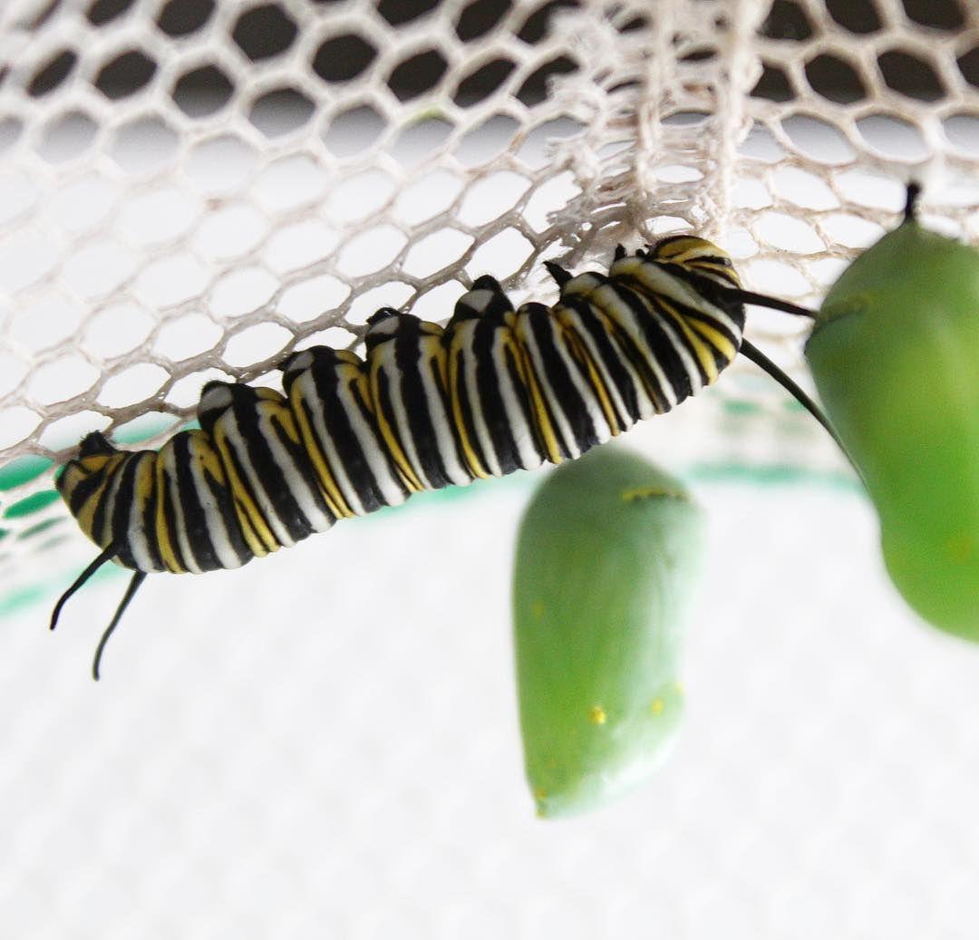 Having fun watching our monarch caterpillars 🐛 change into