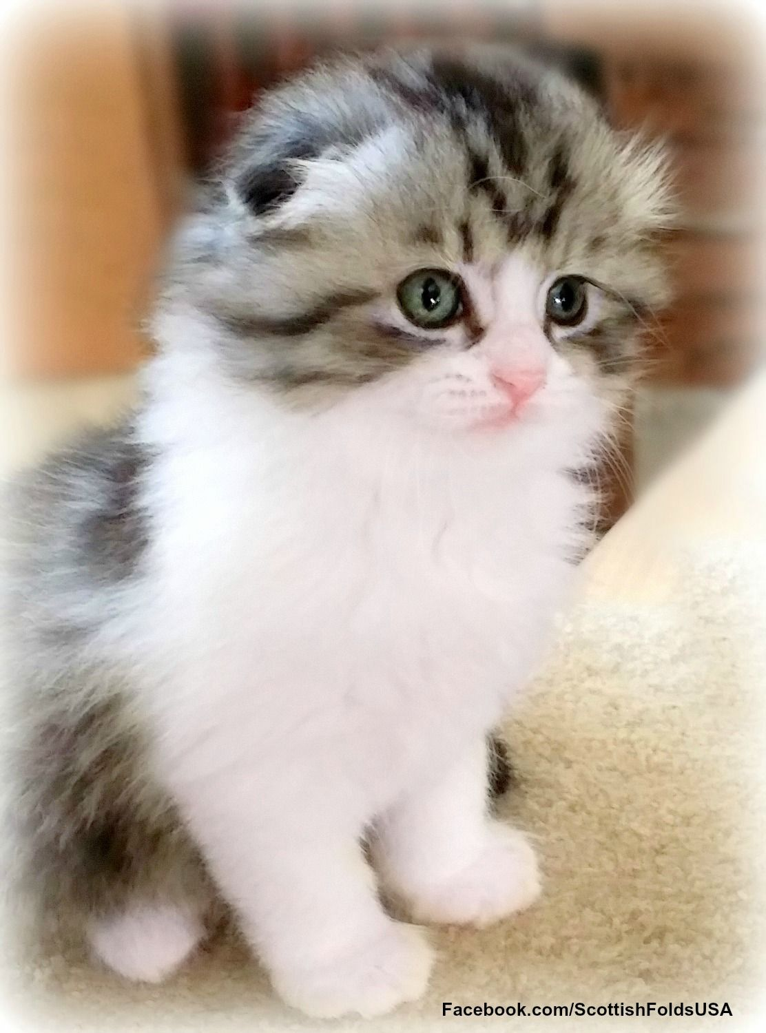 Rehomed To Lubbock Tx Christmas Scottish Fold Kitten Shaded Silver With White Find Us At Http Fa Scottish Fold Kittens Cat Scottish Fold Scottish Fold