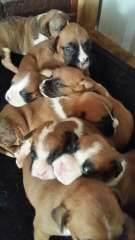 Boxer Puppies For Sale Pure Bred Boxer Puppies Puppies For Sale Boxer Puppies For Sale