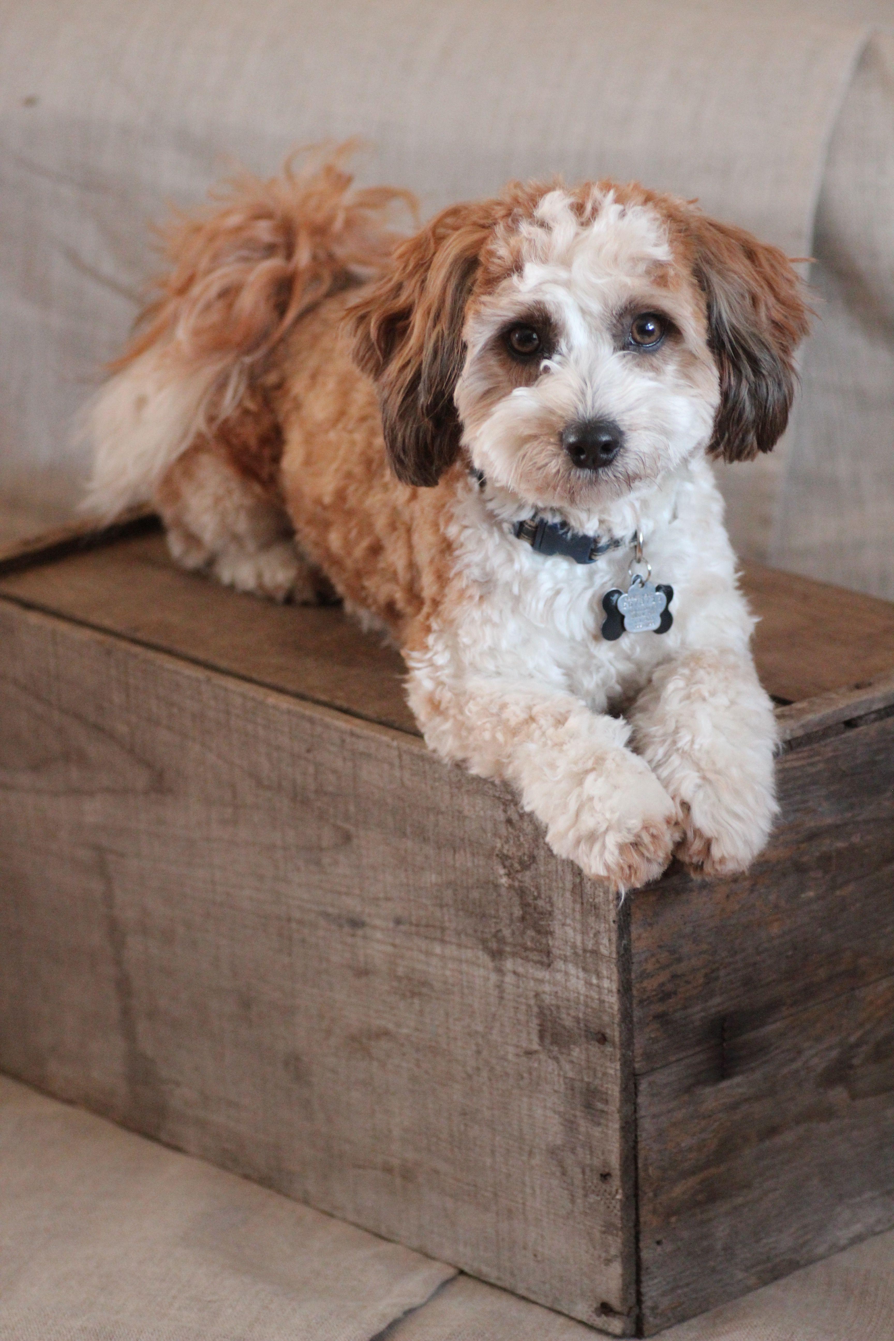 Bichon Shih Tzus! The best family pets! babybarks.ca