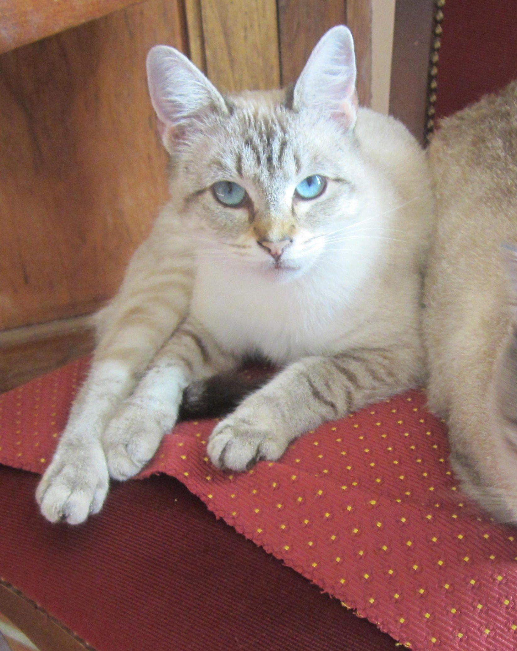 Isadora Siamois Lynx Point I Love Cats Crazy Cats Cats Meow