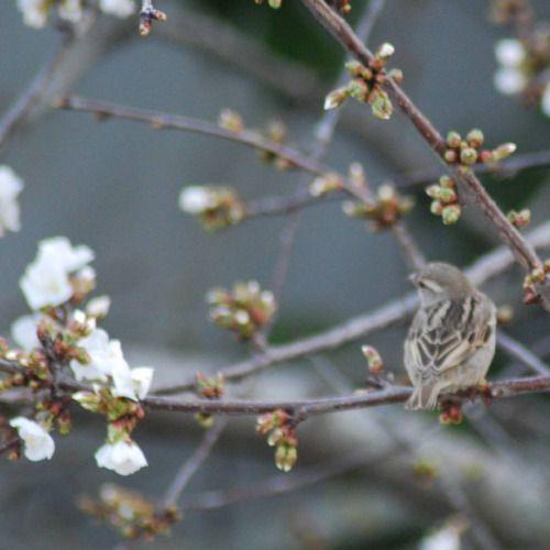 ambinnovacion:  Parece que ha llegado la primavera. #instagram #gorrion #cerezo #flor #sinfiltros #nikon