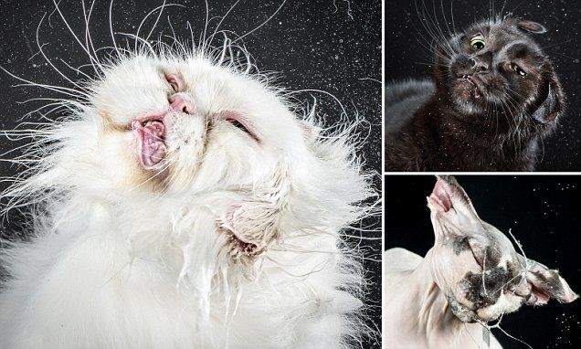 Brilliant freeze-frame pictures show cats mid-shake | cats 2015 ...