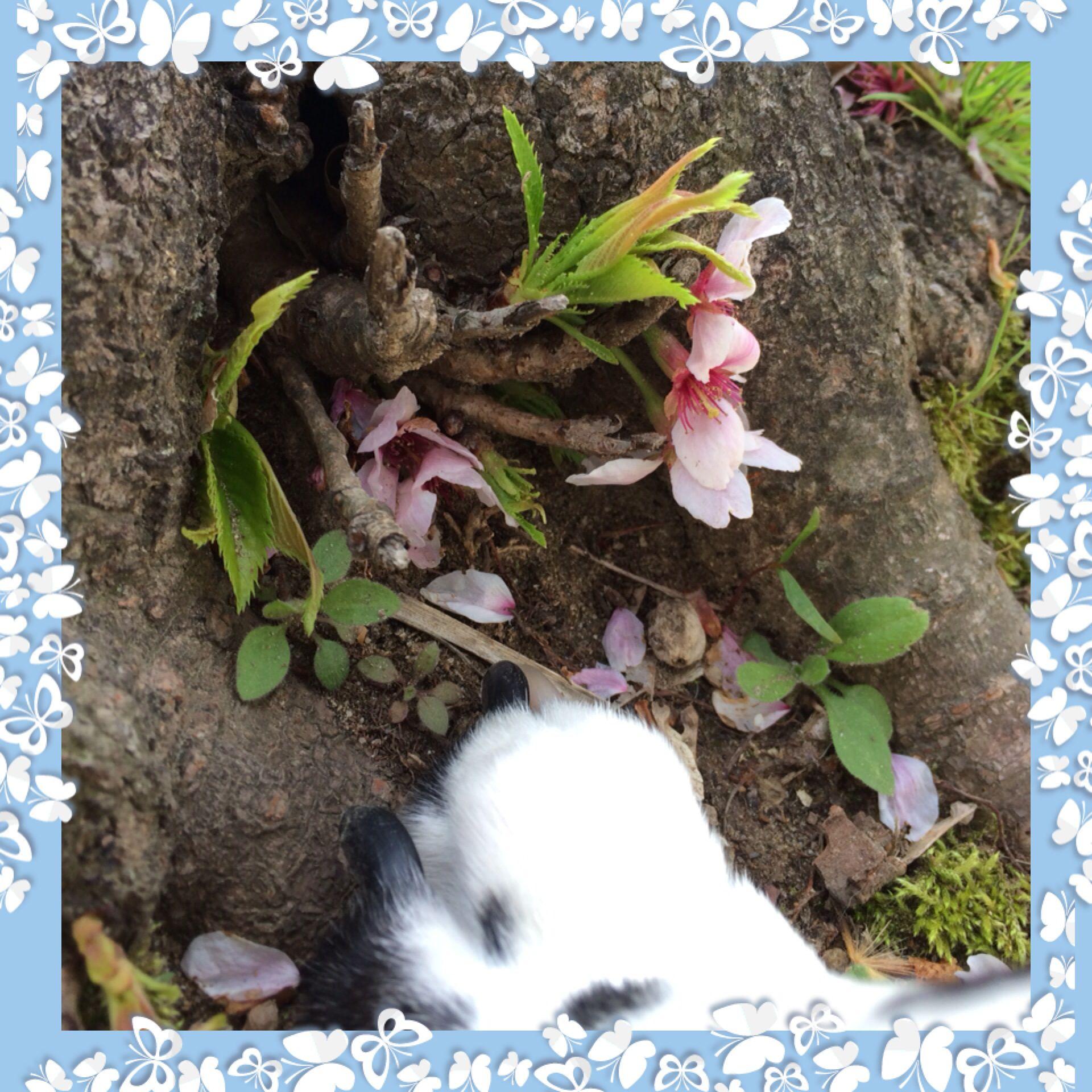 ダルちゃんの指差しシリーズ こんな下でも立派に桜が咲いてますね ペット 写真 ダルメシアン