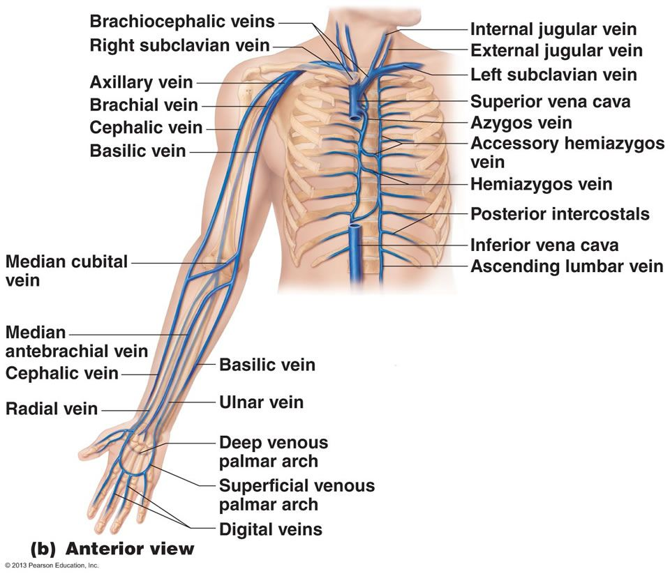 The Cardiovascular System Blood Vessels Nursing In 2018