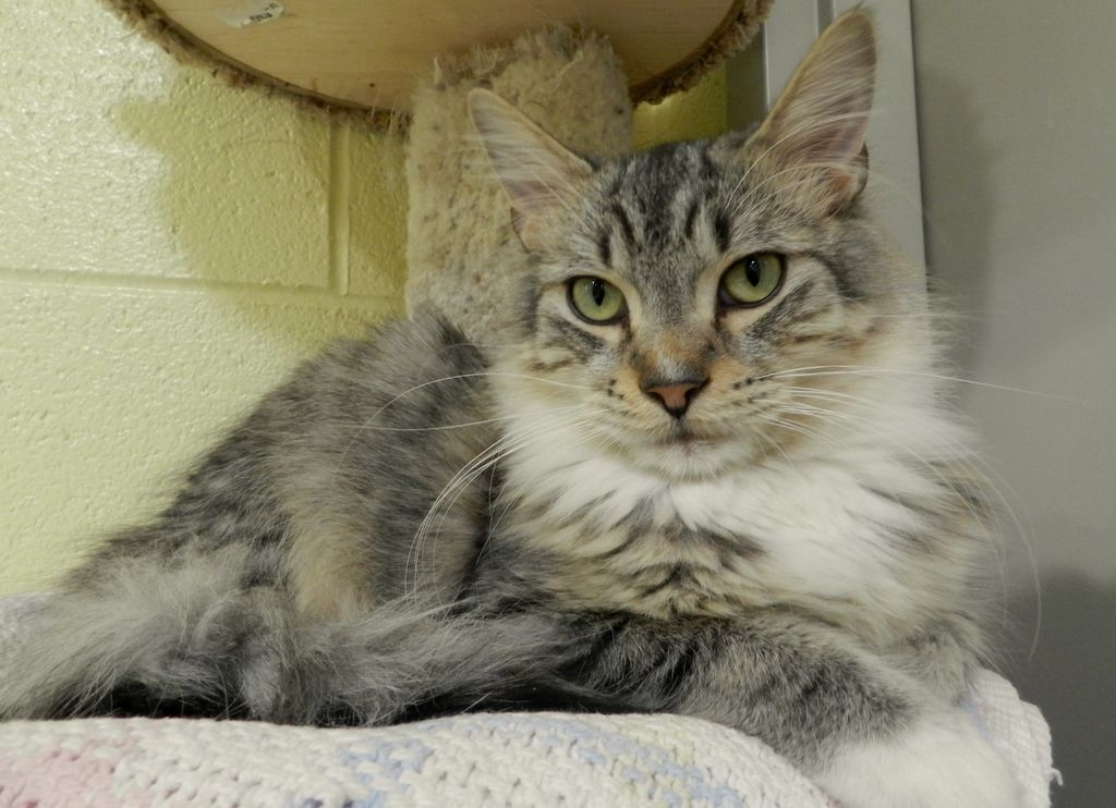 Lionheart is so handsome! Cats, Animals, Adoption