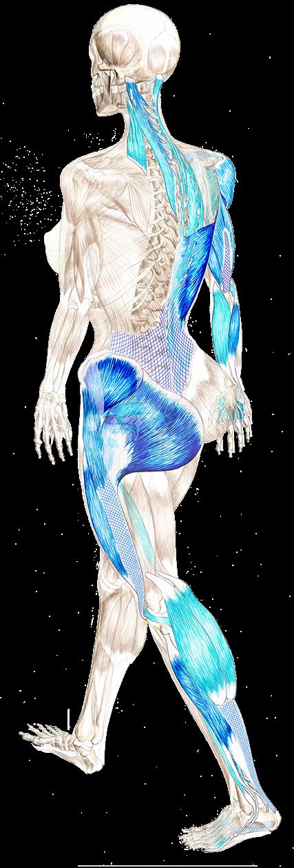 THE SPIRAL ENGINE OF LOCOMOTION | Medicine | Pinterest | Anatomía ...