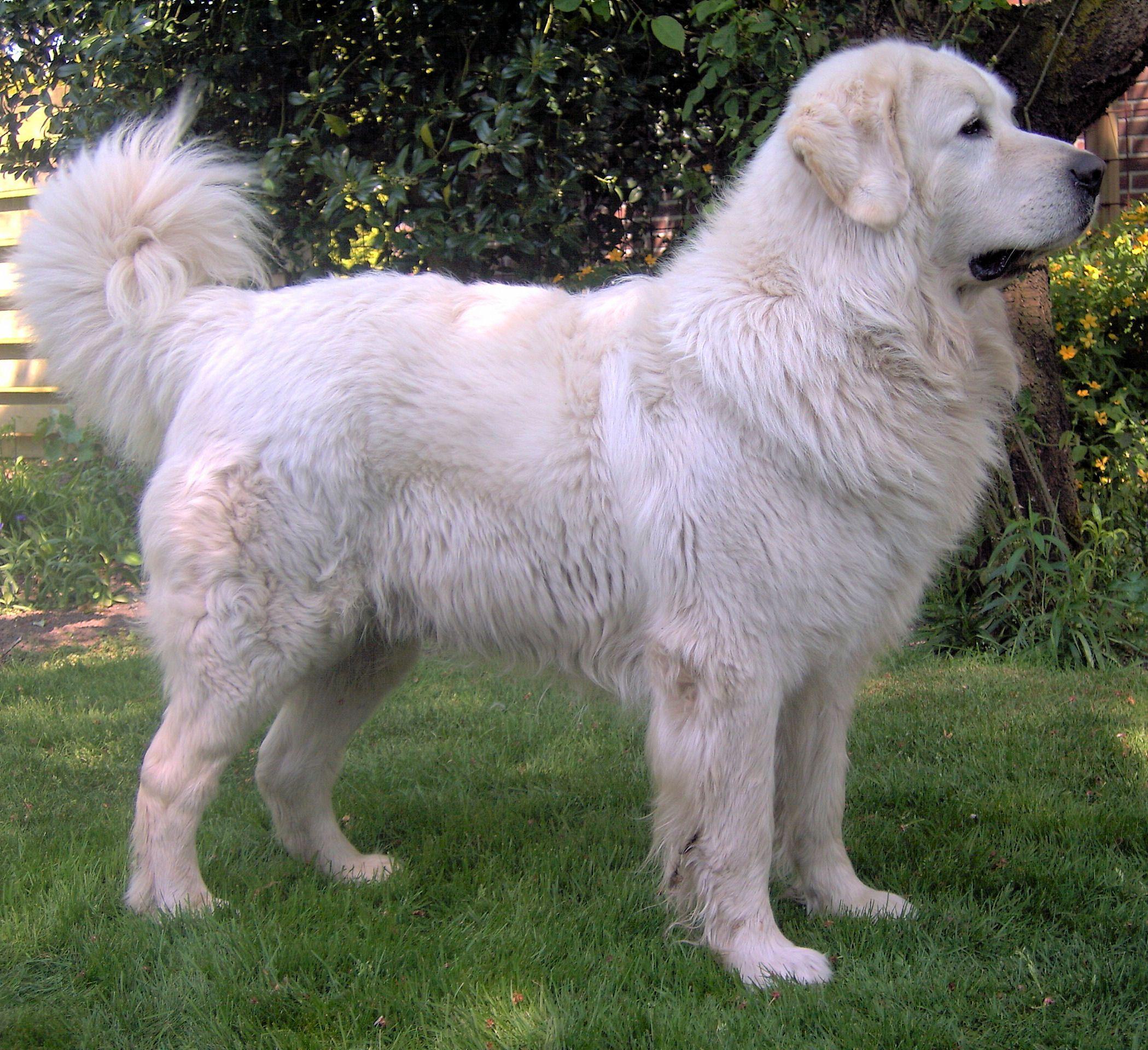 tatra shepherd dog tatra shepherd polish tatra shepherd dog polish tatra shepherd