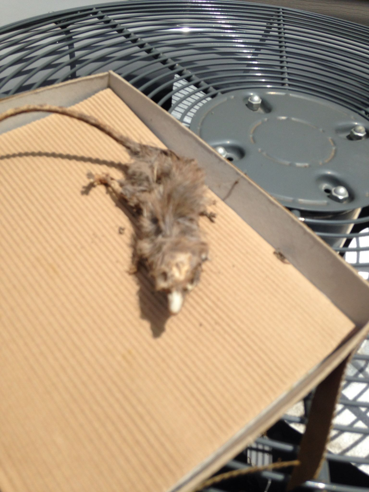 Another view of dead field rat
