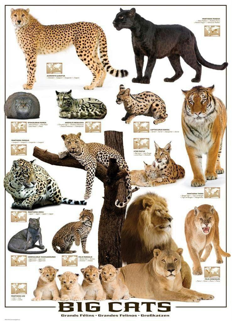 Big Cats Poster Big Cat Species Big Cats Art Wild Cats