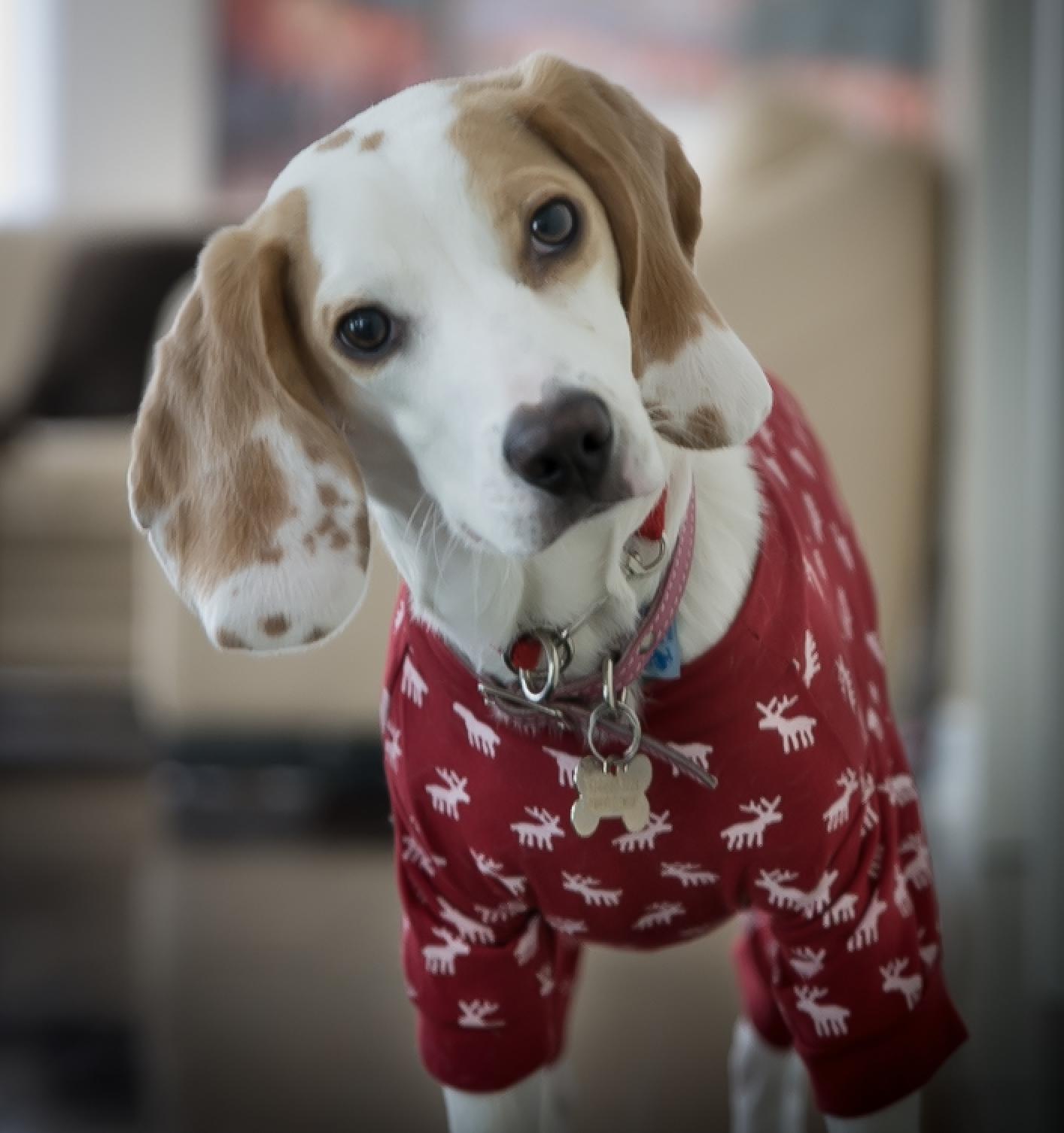 Bailey the beagle bailey the beagle pinterest