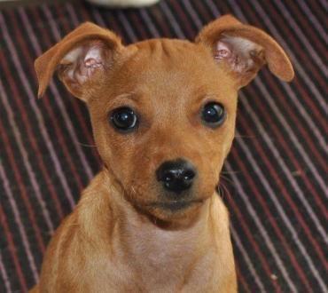 Hund Welpe, Pinscher Mischling (Mischling, Hündin, 4
