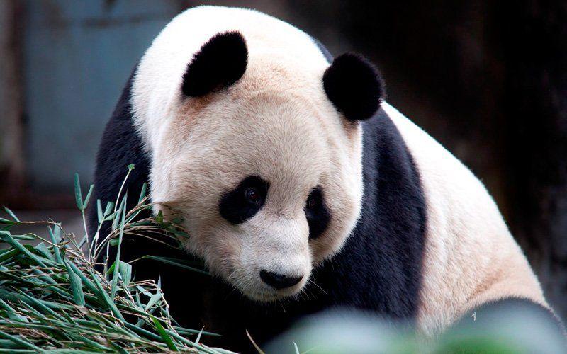 Things To Do And See In Edinburgh This Is Edinburgh Edinburgh Zoo Panda Cam Zoo