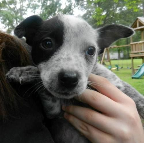 Adopt Ellie Is Tiny On Australian Cattle Dog Blue Heeler