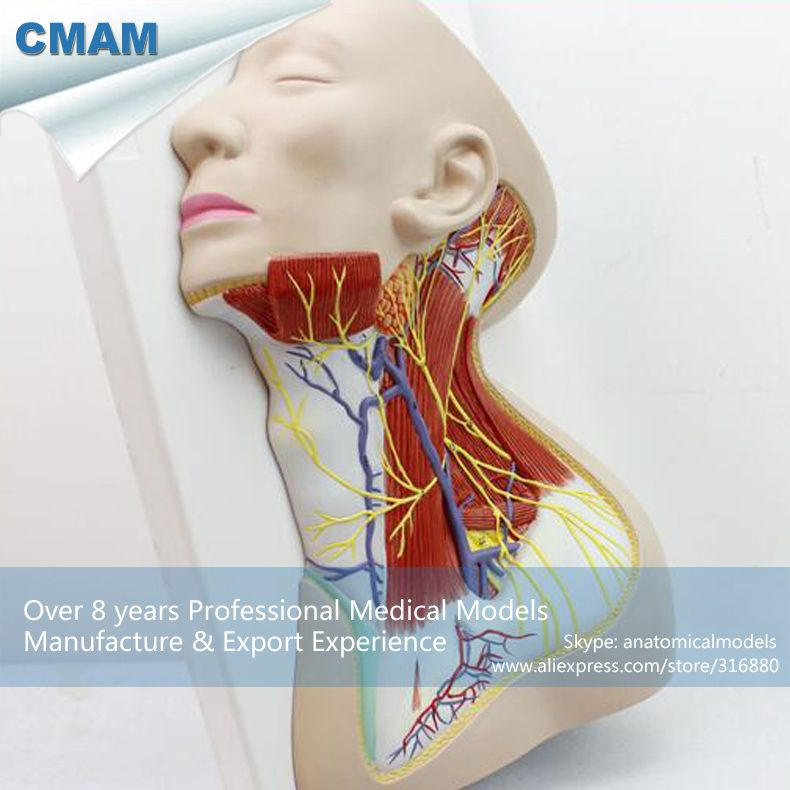 CMAM-BRAIN20 Life Size Human Anatomy Nerves of Neck Region, Medical ...