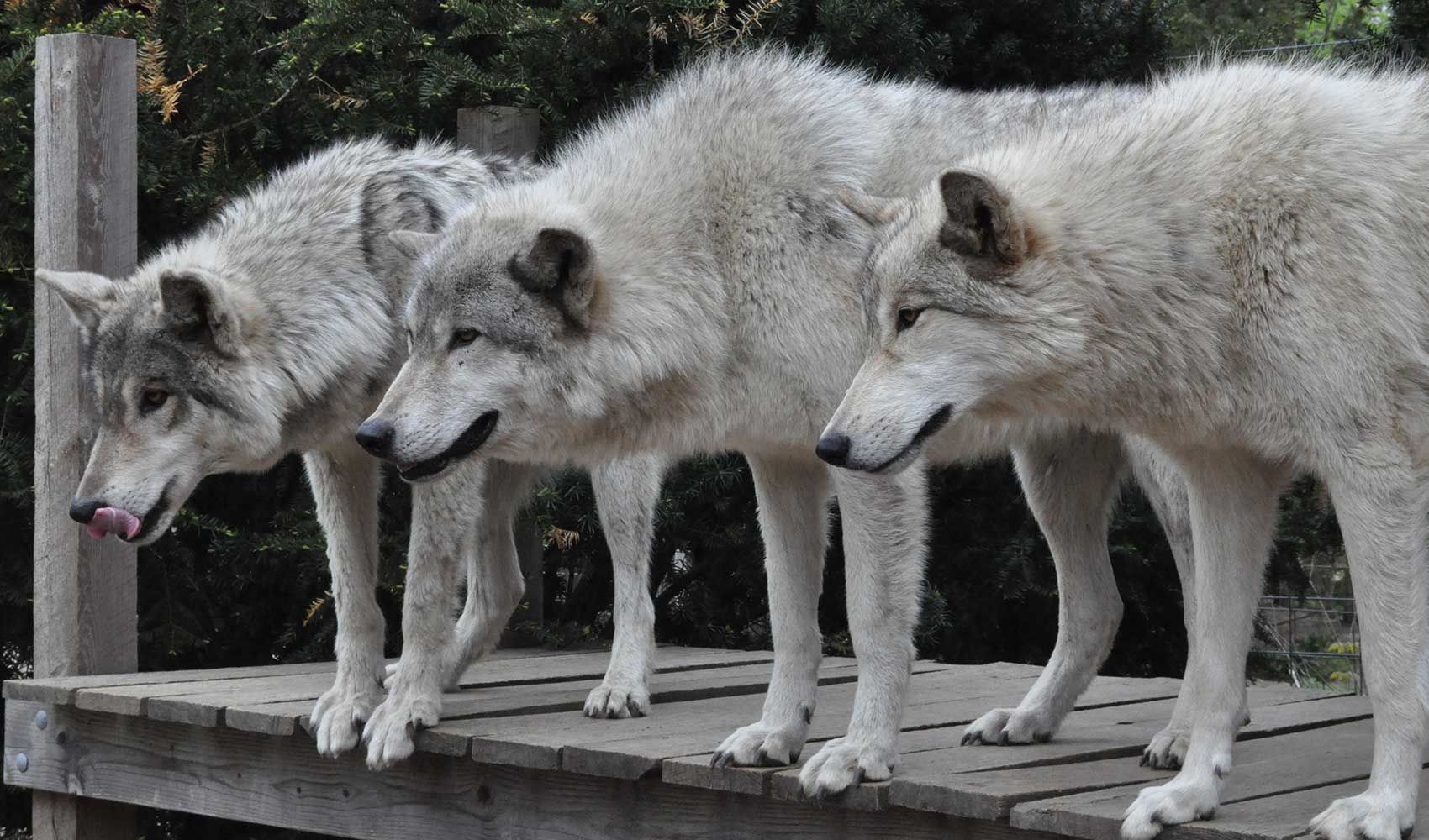 Howling Woods Farm Wolfdogs Animal Rescue 501 C 3 Public Charity Nj In 2020 Animal Rescue Animals