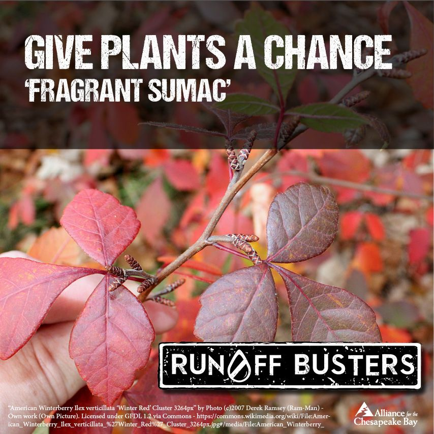 It's easy to gradually shift to using native species in your yard. You can start by using natives, like fragrant sumac, to replace dead or dying non-native plants, and remove existing invasive species. #giveplantsachance #runoffbusters
