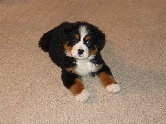 Bernese Mountain Dog Puppy Pet Dog Puppies For Sale In Ny Want Ad Digest Classified Ads Bernese Mountain Dog Puppy Dogs Dogs And Puppies