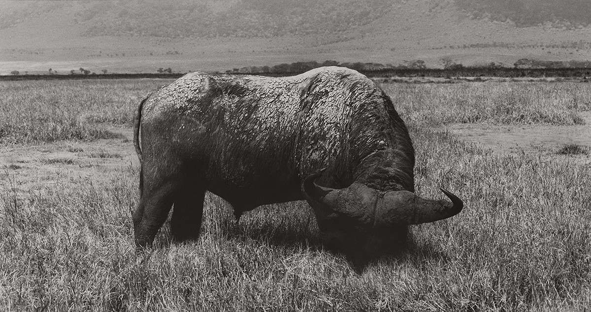 Herb Ritts : Cape Buffalo - Head Lowered, Africa 1993