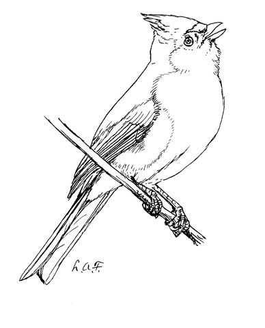Tufted Titmouse Coloring Page From Category Select 24659 Printable Crafts Of Cartoons