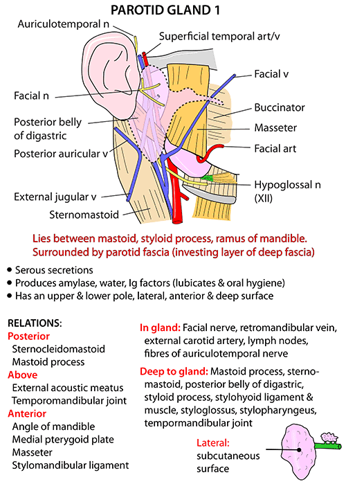 Parotid Submandibular Salivary Pinterest