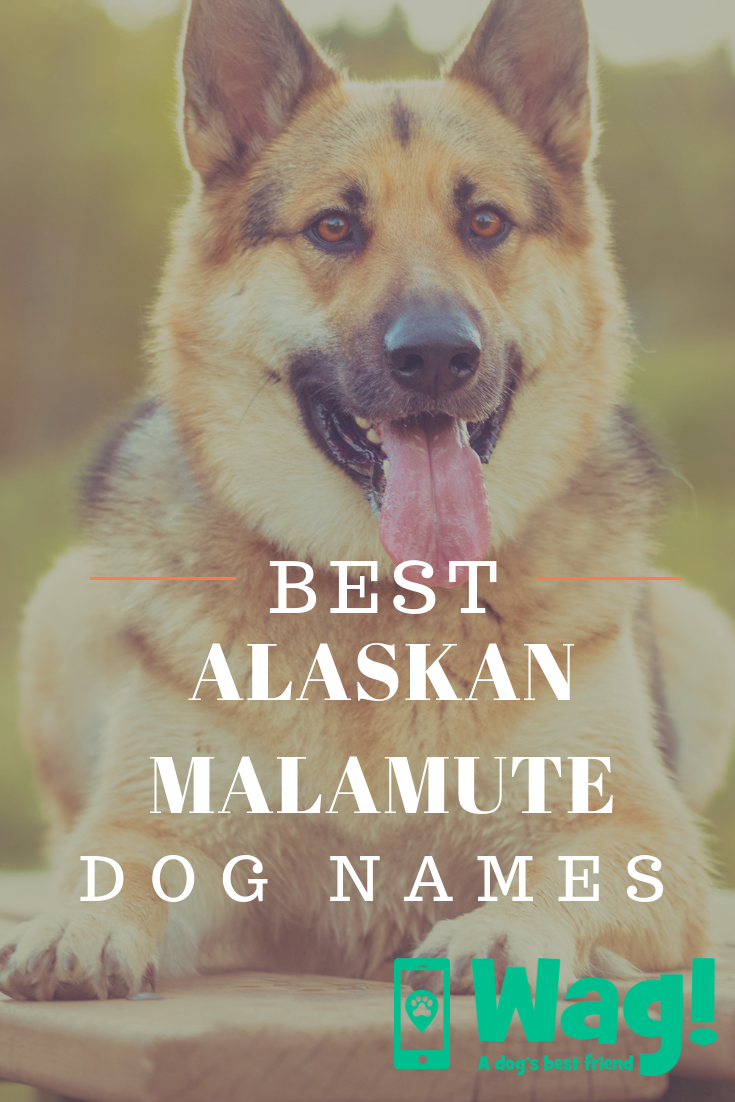Alaskan Malamute Dog Names Wag Dog Names Top Dog Names Malamute Dog