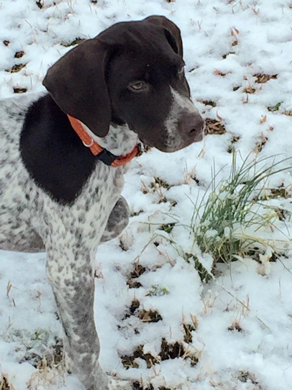 GSP Puppy\'s first snow -- \