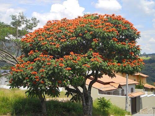 Arvores Ornamentais Para O Paisagismo Arvores Com Flores Paisagismo