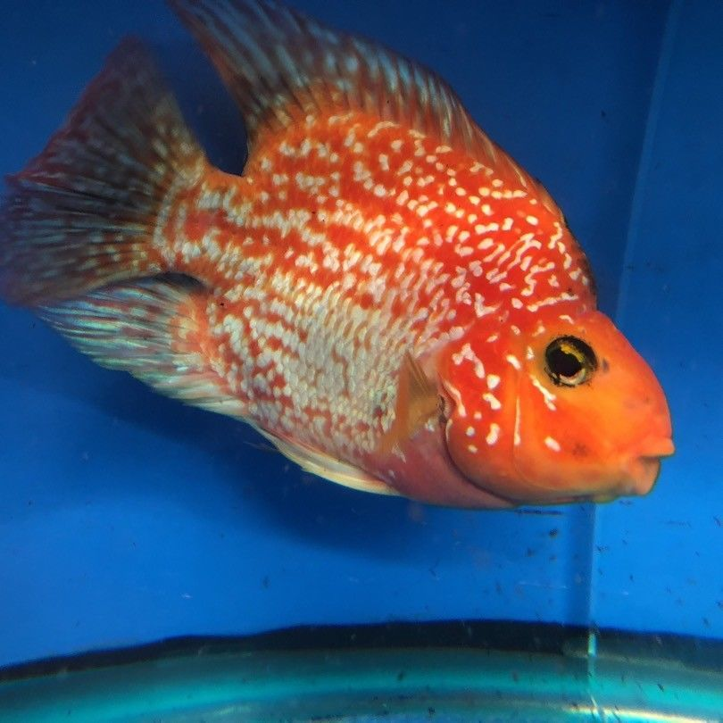 Red Crystal Parrot Fish Parrot Fish Cichlid Fish Fish For Sale