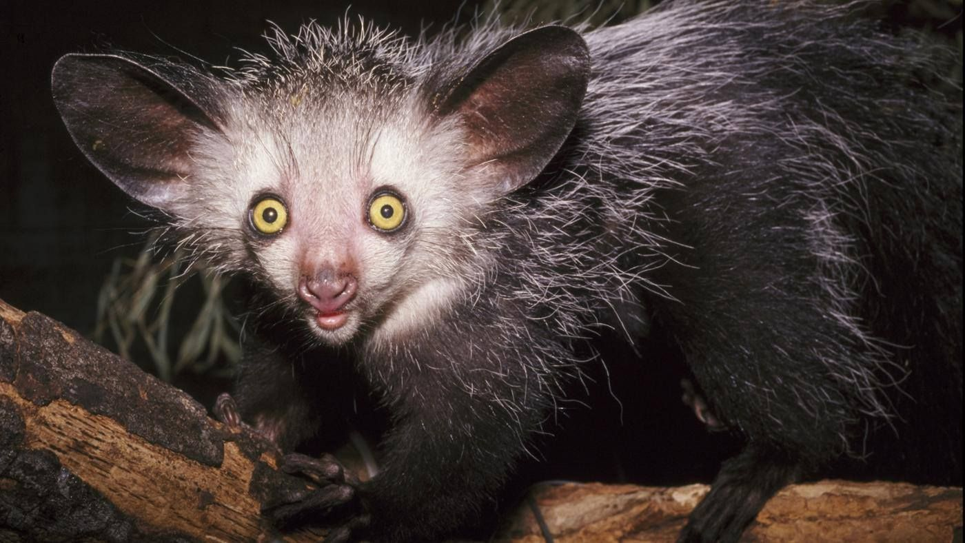Aye Aye Is One Of The Strangest Looking Primates With Images Wild Animals Photography Animals Cute Endangered Animals