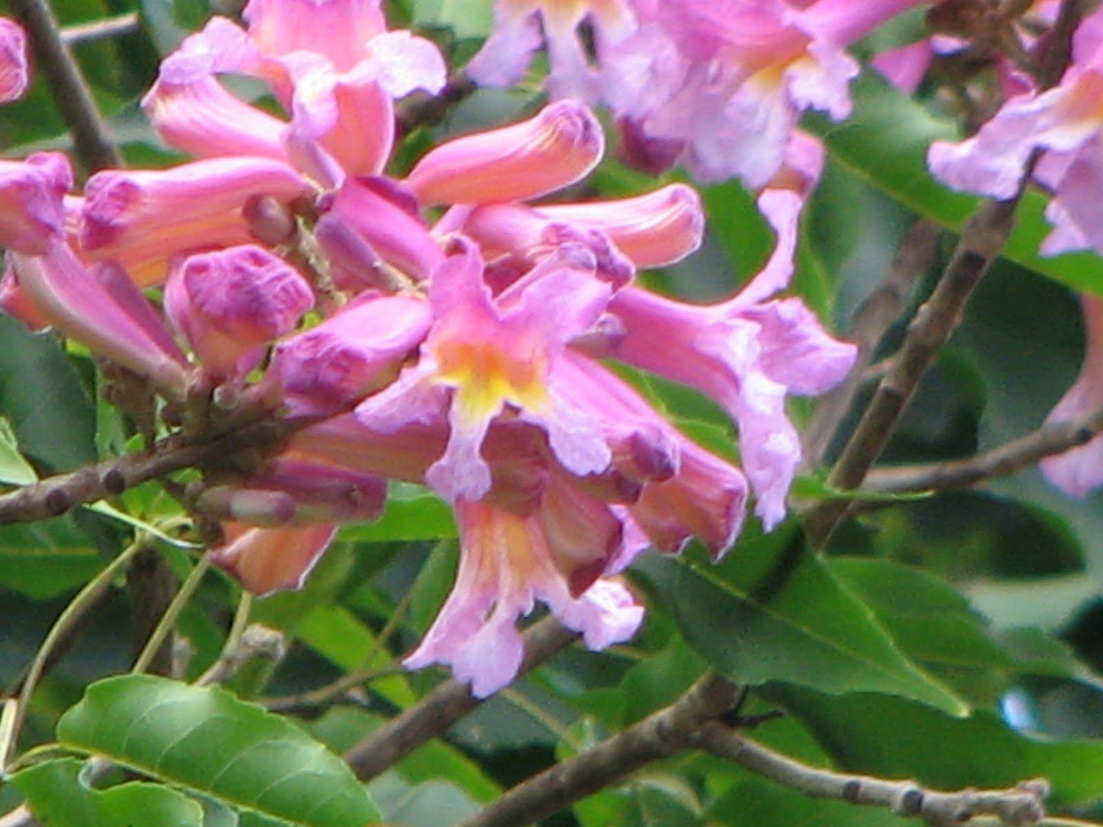 Tabebuia impetiginosa the dwarf pink trumpet tree herbal tabebuia impetiginosa the dwarf pink trumpet tree mightylinksfo