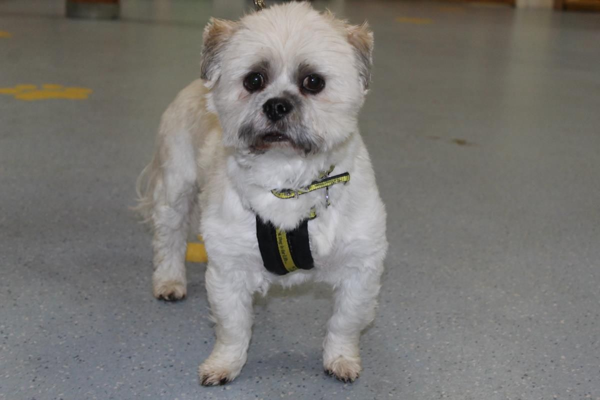 Adopt A Dog Louis Shih Tzu Dogs Trust Dog Adoption Dogs
