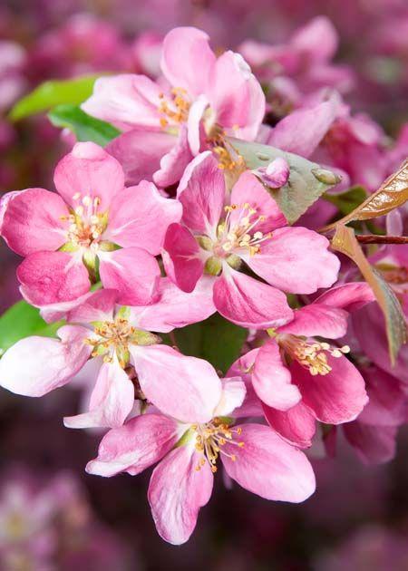 4 Best Flowering Cherry Trees To Grow In The South Ornamental Cherry Flowering Cherry Tree Cherry Tree Varieties