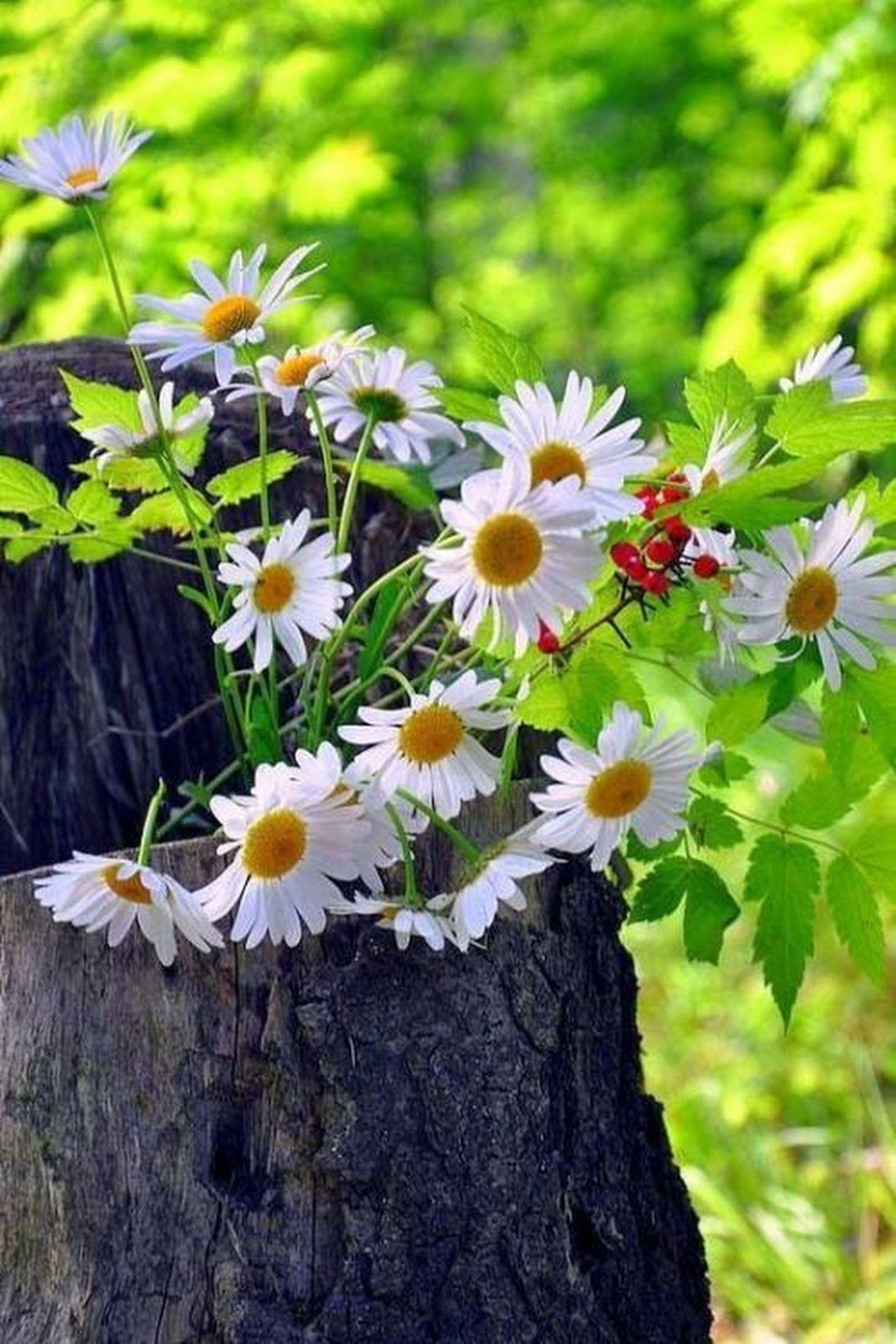 Pin by aundrea morris on me pinterest flowers daisy and sunflowers and daisies daisy flowers wild flowers simple flowers pretty flowers izmirmasajfo