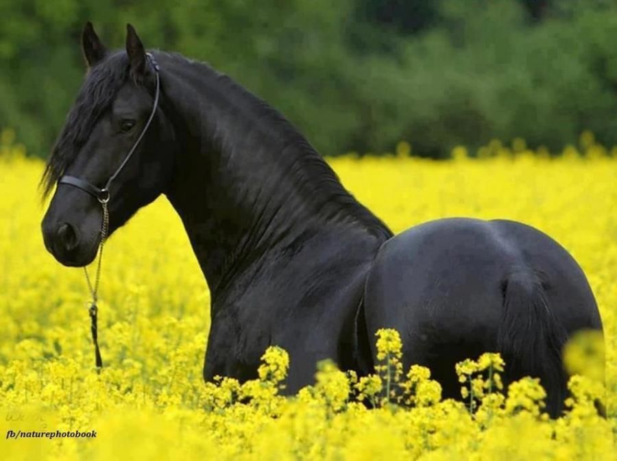 Black horse field of yellow flowers | Cuteness Overload ...